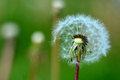 Dandelion with parachutes spring summer season in details bokeh on garden field green background Royalty Free Stock Photo
