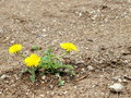 Dandelion on poor stony soil Stock Photos