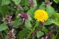 Dandelion and purple dead-nettle Royalty Free Stock Photo