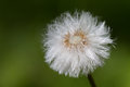 Dandelion pusteblume oder löwenzahn in macro aufnahme Royalty Free Stock Image
