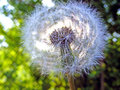 Dandelion in ray sun photography with scene of the Royalty Free Stock Photography