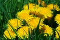 Dandelion s blossom very close detail of with grass Stock Photo