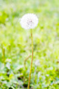 Dandelion's blow ball Royalty Free Stock Photo