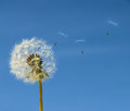 Dandelion with seed flying away Royalty Free Stock Images