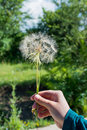 Dandelion seed in hand Royalty Free Stock Photo