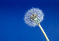 Dandelion seed head aka clock over blue beautiful feathery closeup background Stock Photos