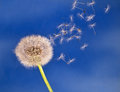 Dandelion seed head aka clock over blue losing its seeds differential focus movement taraxacum officinale Stock Photos