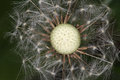 Dandelion seed head close shot of Royalty Free Stock Photos