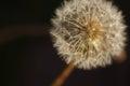 Dandelion Seed Head - close up