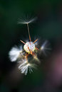 Dandelion seed head taraxacum close up photo of a also known as with a few seeds missing Stock Image