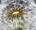 Dandelion seed head taraxacum officinale weed flower Royalty Free Stock Photos