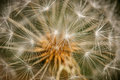 Dandelion seedhead Royalty Free Stock Photo