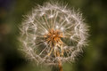 Dandelion seedhead on green Royalty Free Stock Photo