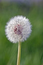 Dandelion seedhead Royalty Free Stock Photo