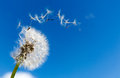 Dandelion with seeds blowing away Royalty Free Stock Photo