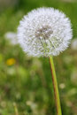 Dandelion with seeds blowing away in the wind Royalty Free Stock Photo