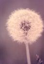 Dandelion seeds Royalty Free Stock Photo