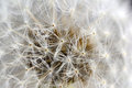 Dandelion seeds closeup of a seed head Royalty Free Stock Photo