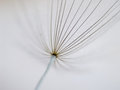 Dandelion seeds detail mcaro taraxacum pappus Stock Photos