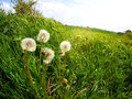 Dandelion seeds in a green field Royalty Free Stock Photo