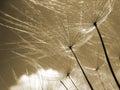 Dandelion seeds 77, macro Royalty Free Stock Photo