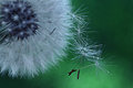 Dandelion seeds macro white flower Royalty Free Stock Photo