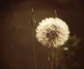Dandelion seeds in sunlight Royalty Free Stock Photo