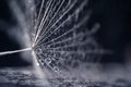 Dandelion seeds with water drops and beautiful shades
