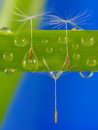 Dandelion seeds in water drops. Royalty Free Stock Photo