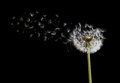 Dandelion seeds in the wind on black background Royalty Free Stock Photo
