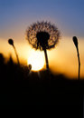 Dandelion silhouette Stock Photography