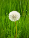 Dandelion, Single Flower, green background, spring Royalty Free Stock Photo