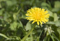 Dandelion a single flower of is in green grass Stock Photo