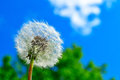 Dandelion and sky white against blue Royalty Free Stock Images