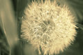 Dandelion on spring field. Vintage style sepia image Royalty Free Stock Photo