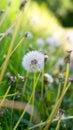 Dandelion spring flowers background Royalty Free Stock Photo