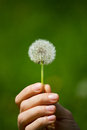 Dandelion in spring with gree background Royalty Free Stock Photo