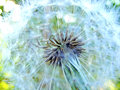 Dandelion by summer photography with scene of the in stiletto background Royalty Free Stock Images