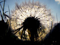 Dandelion sunset Royalty Free Stock Photo