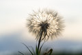 Dandelion in the sunset Royalty Free Stock Photo