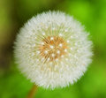 Dandelion taraxacum a beautiful getting ready to spread its seeds Stock Image