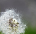Dandelion taraxacum a beautiful getting ready to spread its seeds Royalty Free Stock Image