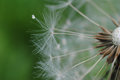 Dandelion taraxacum erythrospermum closeup with natural background Stock Photo