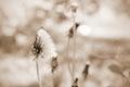 Dandelion (Taraxacum) on field. Royalty Free Stock Photo
