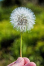 Dandelion or taraxacum is a large genus of flowering plants in the family asteraceae the common name from french dent de lion Stock Photo