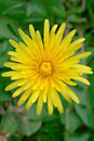 Dandelion. Taraxacum officinale Stock Photos