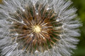 Dandelion taraxacum officinale flower close up view of the beautiful Stock Photography