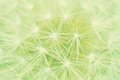 Dandelion taraxacum officinale macro of a Royalty Free Stock Photo