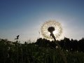 Dandelion taraxacum officinale in a meadow backlit Royalty Free Stock Photos