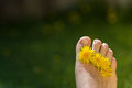 Dandelion and toes adult male foot with flowers in between each toe on a green out of focus background Stock Photo